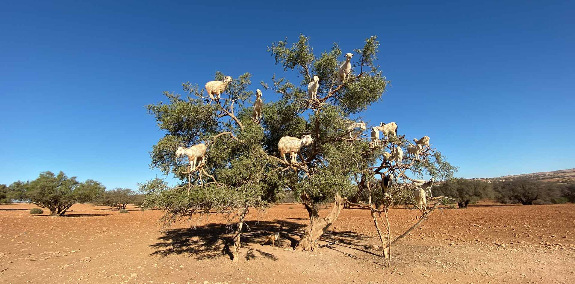 Africa Morocco white goats climbing perched in tall argan tree branches - luxury vacation destinations