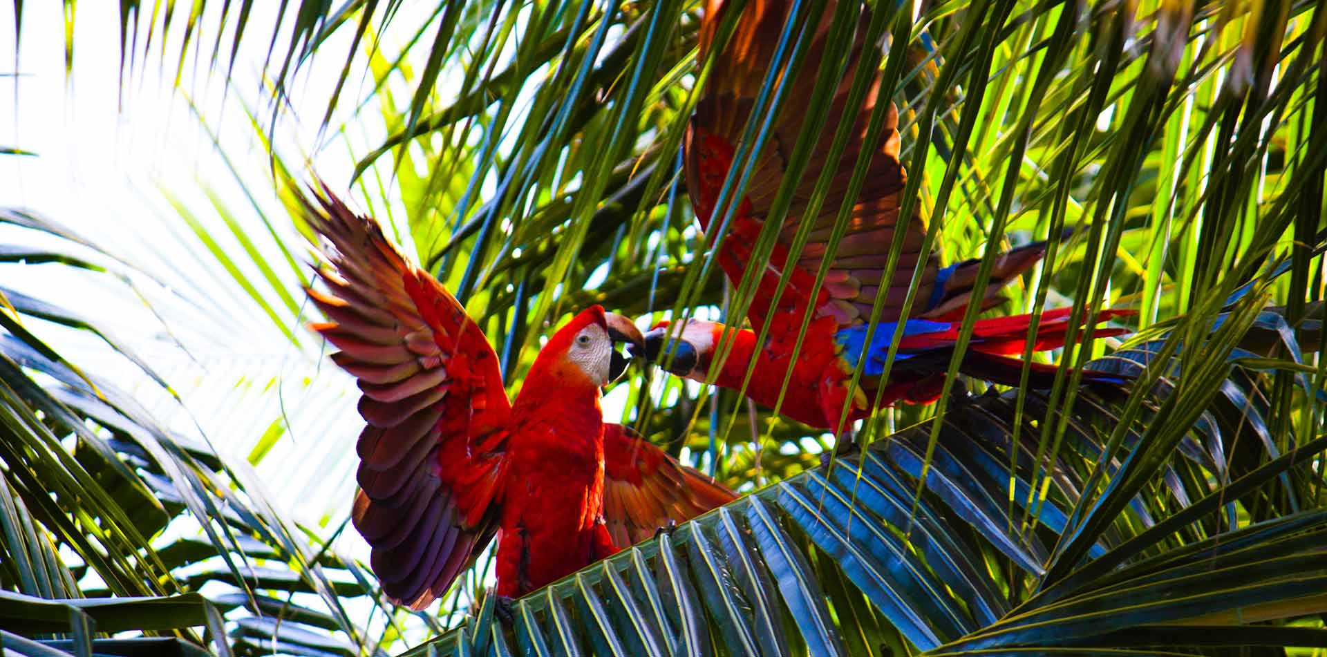 Costa Rica Macaws in Trees