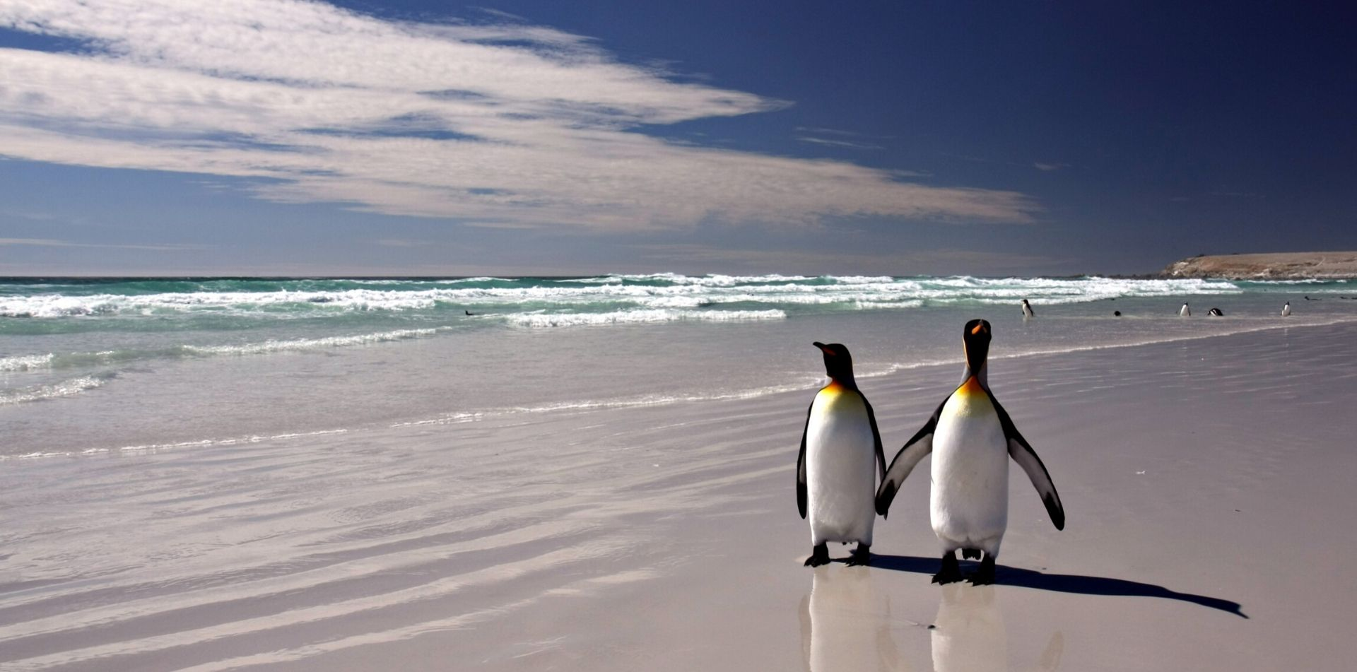 two mated penguins walking together on a sandy beach