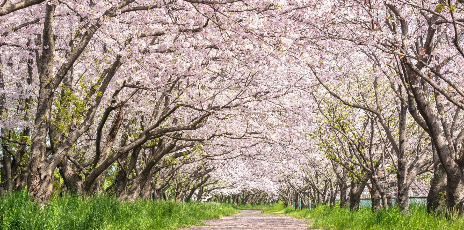 Asia Japan Ueno Park road lined with Cherry Blossom flowers - luxury vacation destinations