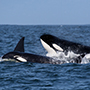 US Pacific Northwest Puget Sound San Juan Island marine life killer whale watching orca swim - luxury vacation destinations
