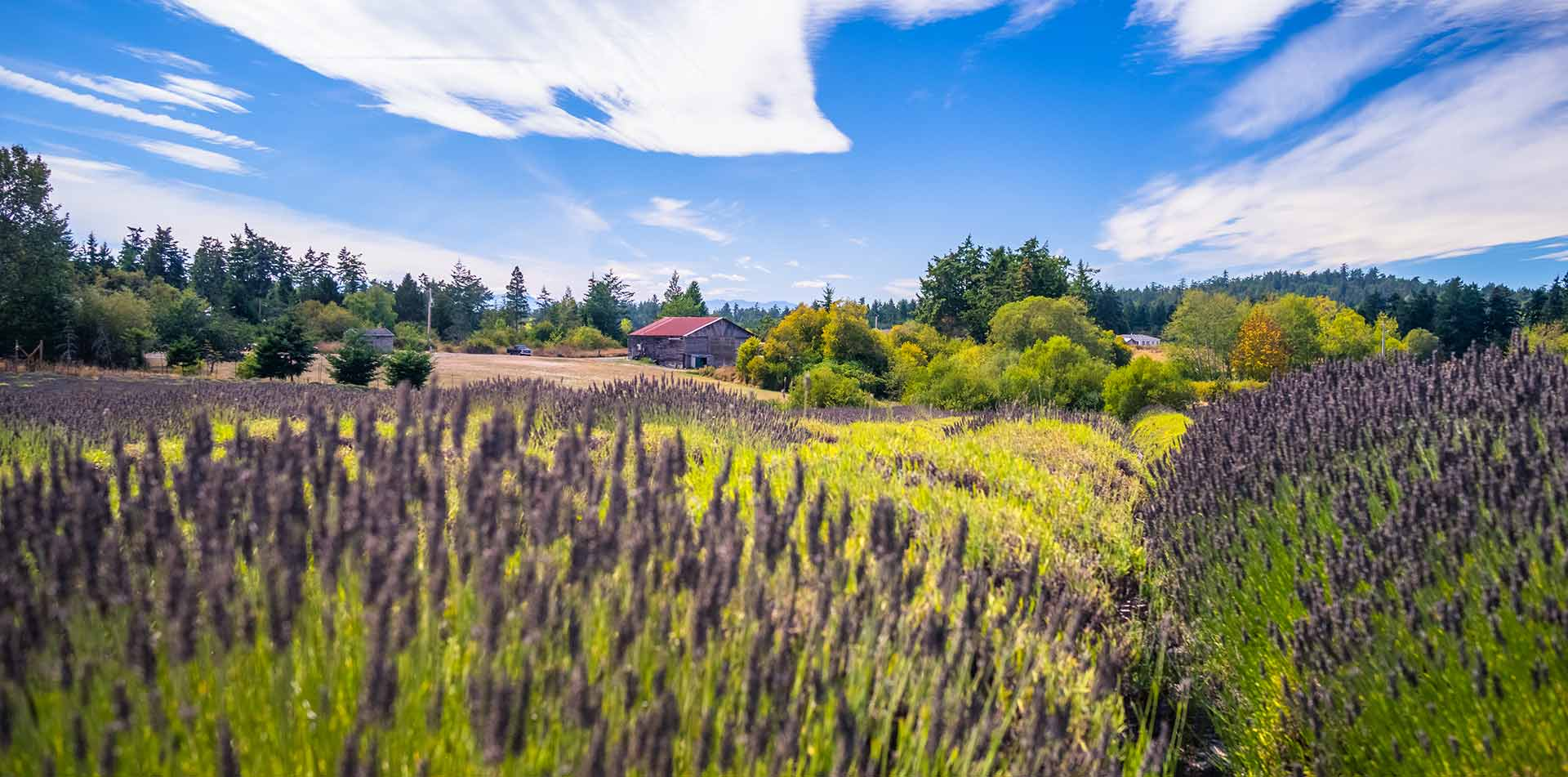 US Pacific Northwest Puget Sound colorful Lavender farm lush idyllic countryside - luxury vacation destinations