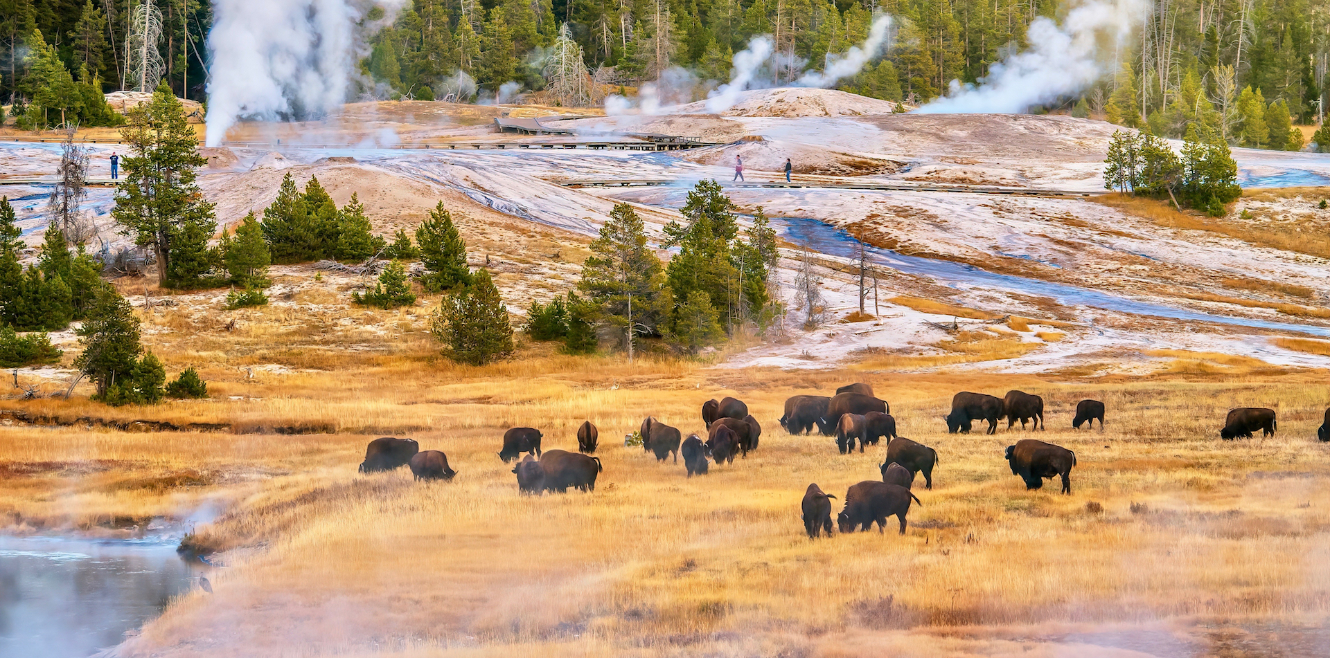North America United States Wyoming Yellowstone National Park Bison