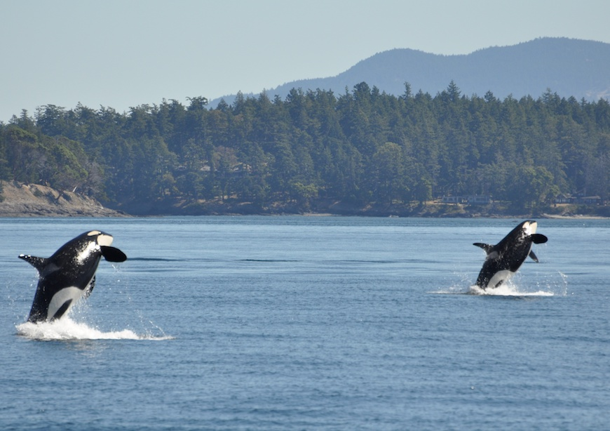 Two orca whales jumping out of water in Puget Sound