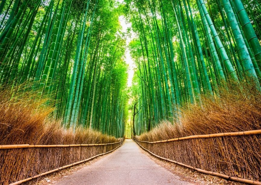 Asia Japan Kyoto Bamboo Forest Pathway in Morning Light