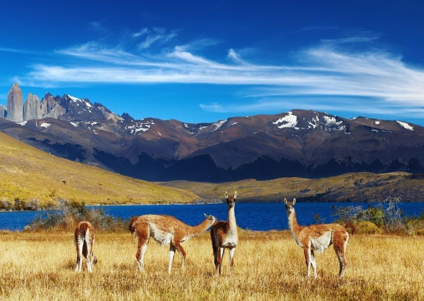 Chile Torres Del Paine National Park Alpacas Grazing With Mountains In Background
